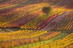 Виноградники осени Moravian стоковые изображения