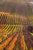 Виноградники осени Moravian стоковое фото rf