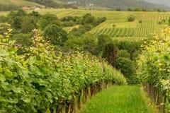 Виноградники панорамы в Баден-Баден стоковая фотография rf