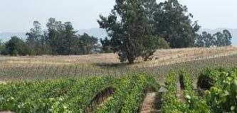виноградники панорамы Стоковые Изображения RF