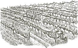 виноградники руки чертежа Стоковая Фотография