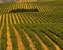 виноградники свободного полета california центральные Стоковое Изображение RF