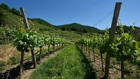 Виноградники, скалистая вершина Rotes, Wachau, Австрия стоковая фотография
