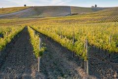 виноградники Тосканы Стоковые Фотографии RF