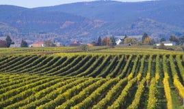 виноградники Стоковое Фото