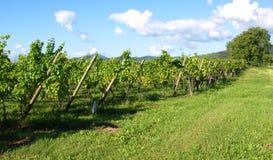 виноградники стоковые изображения