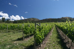виноградники Стоковое Изображение