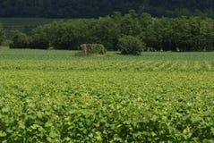 виноградники Стоковое фото RF
