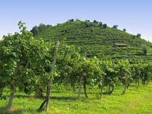 виноградники prosecco Италии Стоковое фото RF