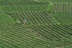 Виноградники, Wachau, Австрия стоковое изображение rf