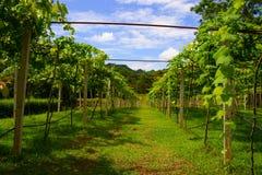 виноградники yai Таиланда khao Стоковое Изображение