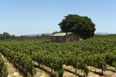 виноградник Африки южный Стоковое фото RF