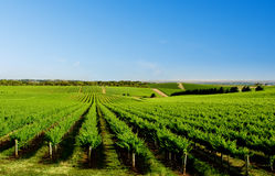 виноградник вала холма одного Стоковые Фотографии RF