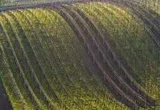 Виноградник весной на солнечном вечере Справочная информация Стоковое фото RF