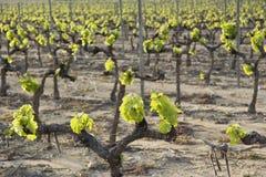 виноградник весны Стоковая Фотография RF