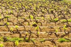 виноградник весны Стоковые Фотографии RF