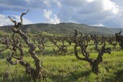 виноградник весны Стоковая Фотография