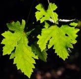 виноградник ветви Стоковые Фотографии RF