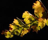 виноградник ветви Стоковые Изображения