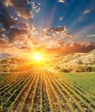 виноградник вечера Стоковые Изображения RF
