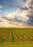 виноградник вечера Стоковое Изображение RF