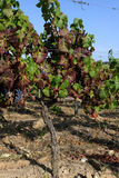 виноградник взгляда Стоковое фото RF