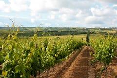 виноградник взгляда Стоковая Фотография