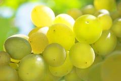 виноградник виноградины стоковая фотография