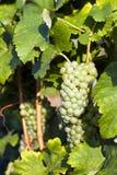 виноградник виноградин зеленый Стоковое фото RF