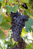 виноградник виноградин Стоковое Изображение