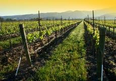 виноградник восхода солнца Стоковые Фото