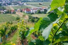 Виноградник в Австрии стоковая фотография