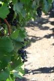 Виноградник в городе Сантьяго, Чили Стоковые Изображения RF