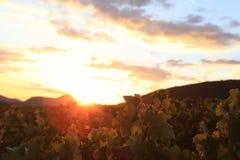 Виноградник в заходе солнца Стоковые Изображения RF