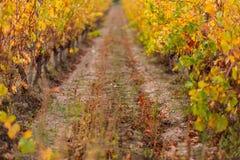 Виноградник в осени Сухая трава и желтые листья o r стоковое изображение rf