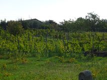 Виноградник в осени Стоковые Фотографии RF