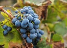 Виноградник в провинции Mendoza, Аргентине Стоковое Изображение