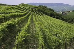 Виноградник в районе Италии Barolo стоковое изображение