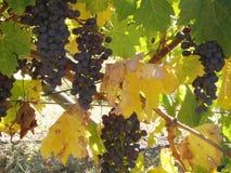 Виноградник в Тасмании Стоковые Фото