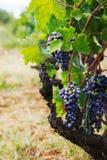 Виноградник в хлебоуборке осени Стоковая Фотография
