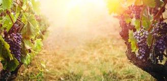 Виноградник в хлебоуборке осени Стоковые Фотографии RF