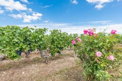 Виноградник в Medoc около Бордо в Франции Стоковые Изображения RF