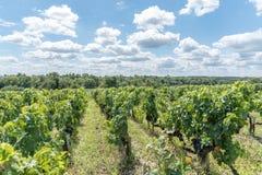 Виноградник в Medoc около Бордо в Франции Стоковые Фотографии RF
