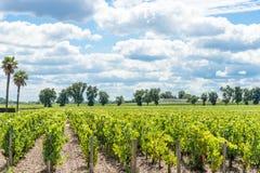 Виноградник в Medoc около Бордо в Франции стоковые изображения