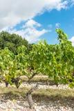 Виноградник в Medoc около Бордо в Франции стоковое изображение