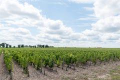 Виноградник в Medoc около Бордо в Франции Стоковое Фото