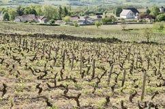 Виноградник в Santenay Стоковая Фотография