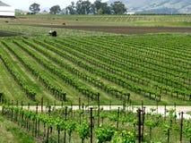 виноградник горизонта Стоковое Фото