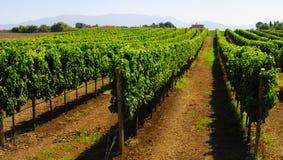 Виноградник горного склона в Италии Стоковые Изображения RF