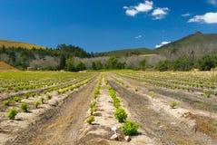 виноградник гор Стоковое Изображение